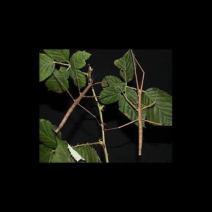 Insecto Palo Medauroidea Extradentatum 1 ud M