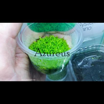 PL1 Utricularia Graminifolia Epaqvitro Tarrina