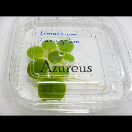 Pl Limnobium Laevigatum-Porcion