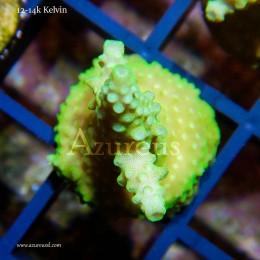 Coral Esqueje Acropora Verde Flúor