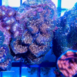 Coral WYSIWYG 1