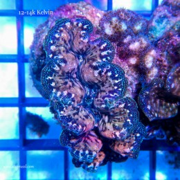Coral WYSIWYG 2