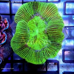 Coral WYSIWYG 11