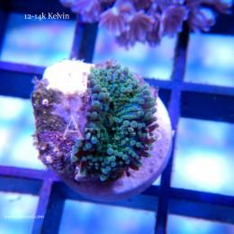 Coral WYSIWYG 25