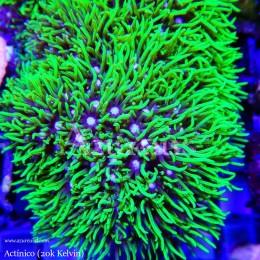 Coral Esqueje Pachiclavularia Viridis Verde Ultra Fluor