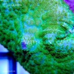Coral WYSIWYG 9