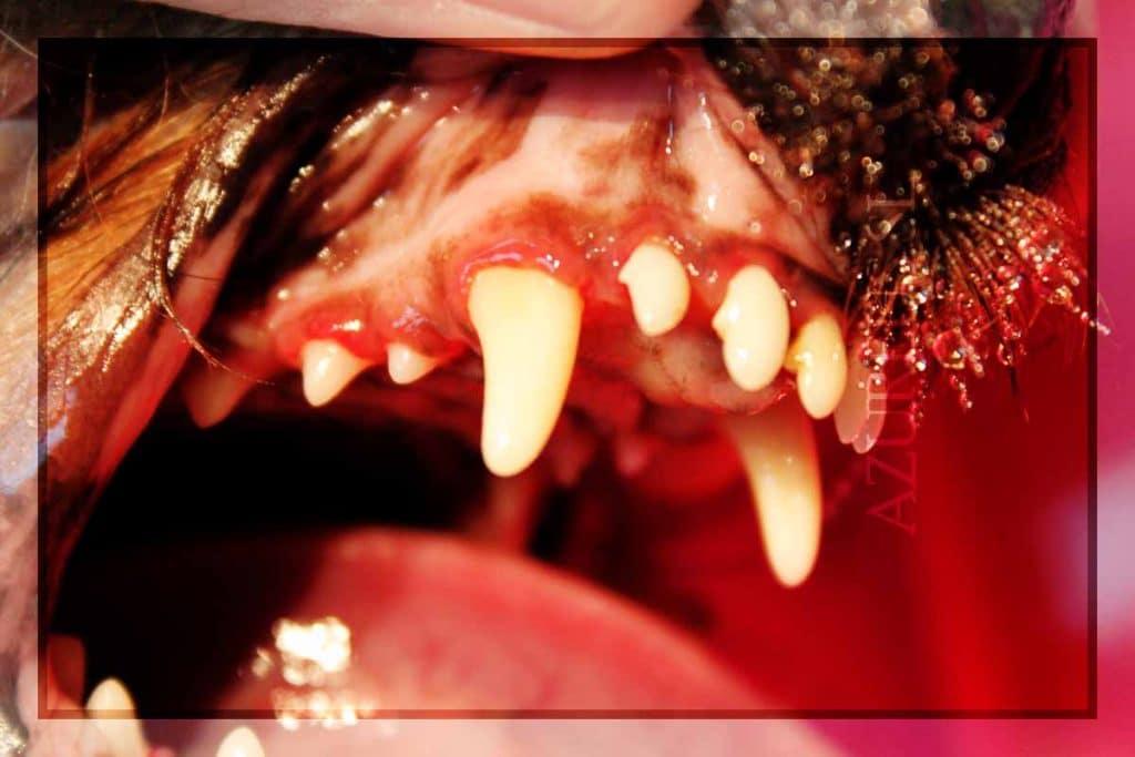 Aspecto de la boca de un Yorkshire después de la limpieza dental en nuestra clínica. Ahora toca lo más importante, evitar que se vuelva a ensuciar tanto. Podéis ver cómo los dientes quedan limpios y sin sarro.