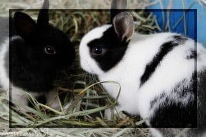 Vacunación De Conejos Realmente Es Necesaria Azureus