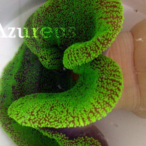 Stychodactila hadoni ultra verde XXL, una pasada de animal