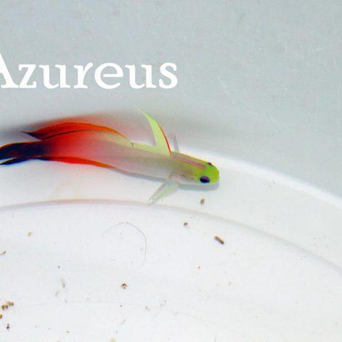 Nemateleotris magnifica preciosos de color
