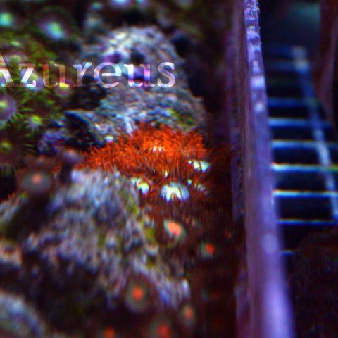 Un esquejillo de zoanthus con los tentáculos de un color rojo muy intenso que con actínicos son para llorar