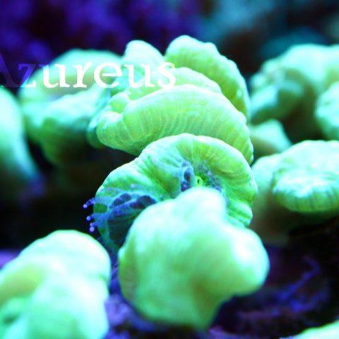 Nuestras conocidas caulastreas verde HULK, super ultras, !y cómo comen!