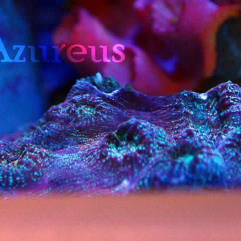 Echinophyllias ultras, con unos tonos metálicos bajo actínicos muy muy curiosos