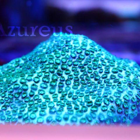 Otra Echinopora verde entera. El verde es muy guapo y estos corales incrustantes son bastante fáciles de mantener