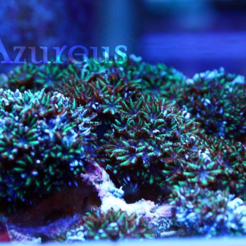 Una pachiclavularia que hace tiempo que no teníamos, mini margaritas azules y verdes, muy curiosa y bonita