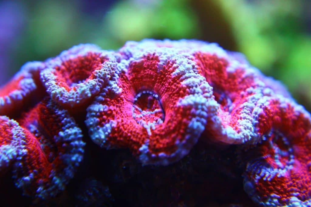 Pólipos de Acanthastreas rojas en nuestras instalaciones. Sencillamente espectaculares.