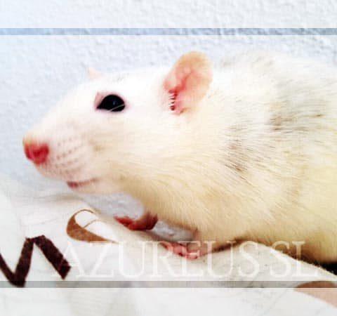 Las ratitas blancas pueden o no tener los ojos albinos