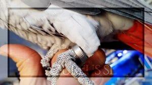 Todos los yacos criados en cautividad deben tener anilla cerrada y legible, donde se indica normalmente el nº del criador, el número de la serie y el año de nacimiento.