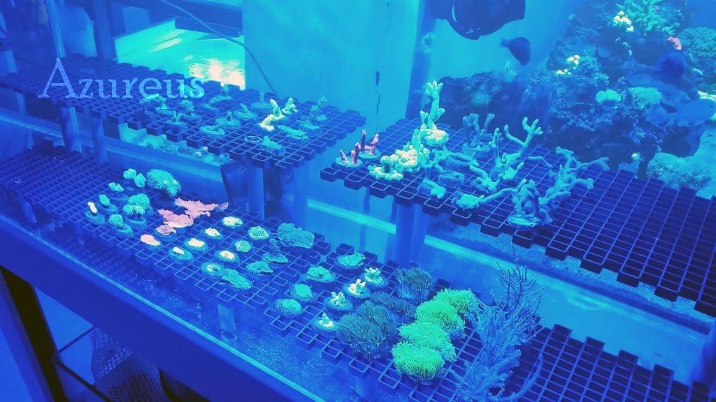 Los corales con la luz actínica en la noche abierta de Azureus :D