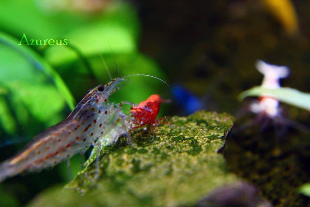 Una cantonensis y una red fire discutiendo por un bocado de Hikari shrimp :)