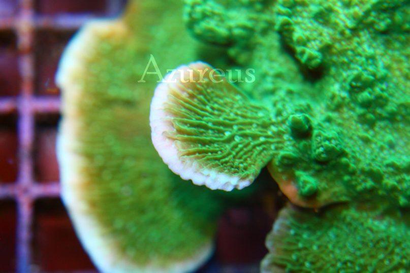 Las montiporas platos son las reinas de las naves espaciales para los nudibranquios. Se suelen cobijar en los tejidos muertos que se van generando cuando el coral crece encima de otra porción y la deja sin luz.