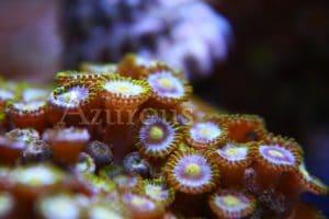 Si tus Zoanthus han empezado a tener pólipos cerrados una de las cosas que hay que chequear es que no tengan parásitos. Es muy frecuente que algún gusano los esté incordiando y les haga cerrarse continuamente. Nada que un buen baño con Coral Rx no solucione.