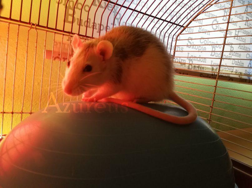 Para ayudar a vuestra ratita en casa hasta que la vea el veterinario, le vendrá bien un extra de calor cuando estén resfriadas. En la foto podéis ver que está iluminada por una lámpara infrarroja que le da calor y le ayuda a calentarse.