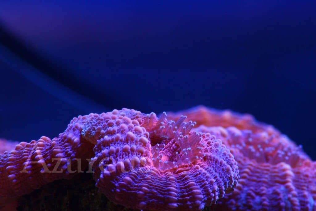 Nuestras lobophyllias en Azureus... Y es que es un coral que nos encanta. Estas en concreto son de color naranja, una auténtica pasada durante las horas de actínico. Si bien es cierto que por el día son discretas, cuando llegan la luz de luna ¡¡no vas a poder dejar de mirarlas!! ¿Ya has visto el vídeo en el que les damos de comer? ;)