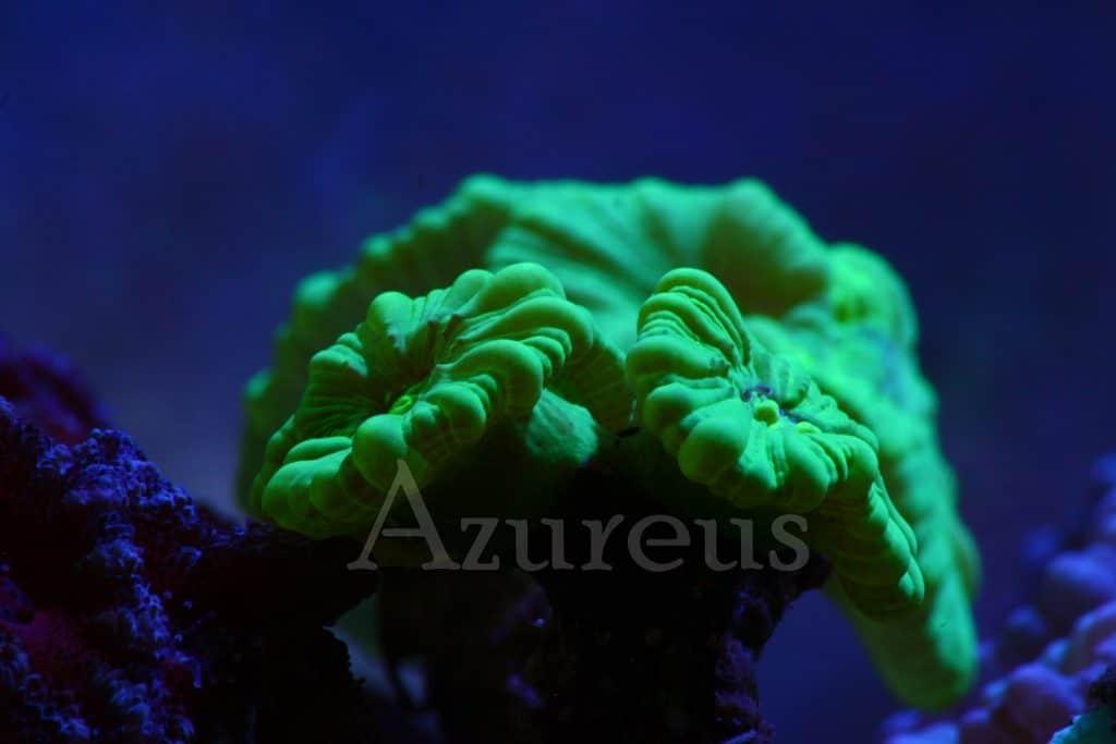 Pedazo de Caulastreas verde Hulk. Y es que intentamos que sean un clásico en Azureus, con un montón de color y con el verde super marcado. Es una maravilla ver cómo se hinchan sus pólipos.