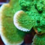 Coral Rx, o porque los baños antiparasitarios para corales son imprescindibles.