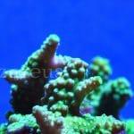 ¡Nuestros pedazo de esquejes de coral en Azureus! ¡No te los pierdas!