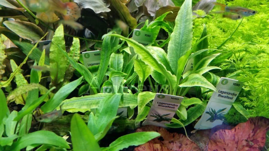 Estas lagenandras son perfectas para primeros planos y medios. Muy buenas también para semi-emergidos y paludarios con mucha humedad ;) Tienen un contraste genial en sus hojas.