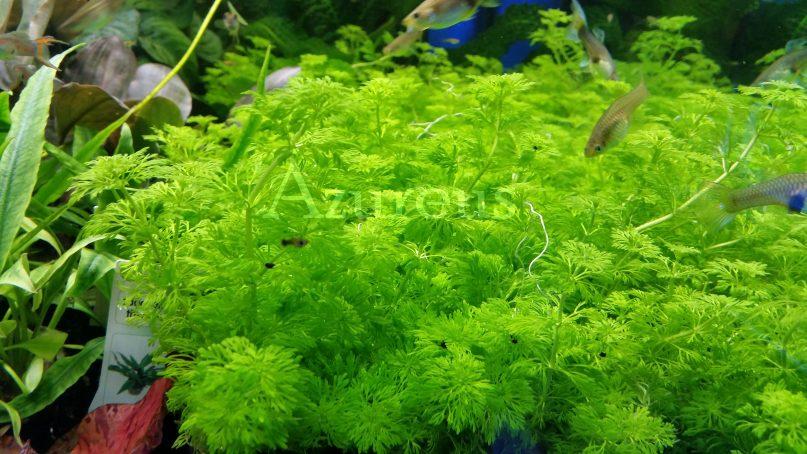 Cuando llegan son enanas, y una semana después casi tocan la superficie. Y es que las ambulias pueden llegar a crecer más de 5 cm al día!!! Mete abono líquido y luz y alucina con su crecimiento. (y si metes CO2, verás cómo cogen en los brotes nuevos un color rojizo muy muy guapo :) )