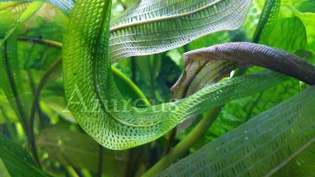 Las hojas de las Aponogeton madagascariensis son una auténtica pasada. Es una planta normalmente exigente, pero en las aguas de Cáceres la verdad es que prospera divinamente. No te quedes sin este pedazo de espectáculo en tu acuario ;)