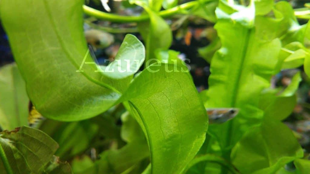 Y si no te gustan las hojas de la madagascariensis, siempre puedes optar por la Aponogeton ulvaceus, con sus largas hojas onduladas e hipnóticas. Y de un verde muy particular. ¿Te hemos dicho ya que nos gustan un montón las Aponogeton?