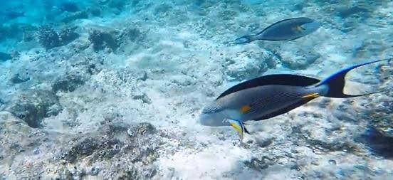 Buceando entre A. sohales en el Mar Rojo, una experiencia increíble.