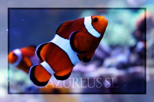 Amphiprion Ocellaris Normal Adulto