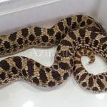 Las Heterodon son serpientes simpáticas que siempre evitarán el enfrentamiento y solo atacaran cuando se vean amenazadas (como casi cualquier serpiente y culebra).
