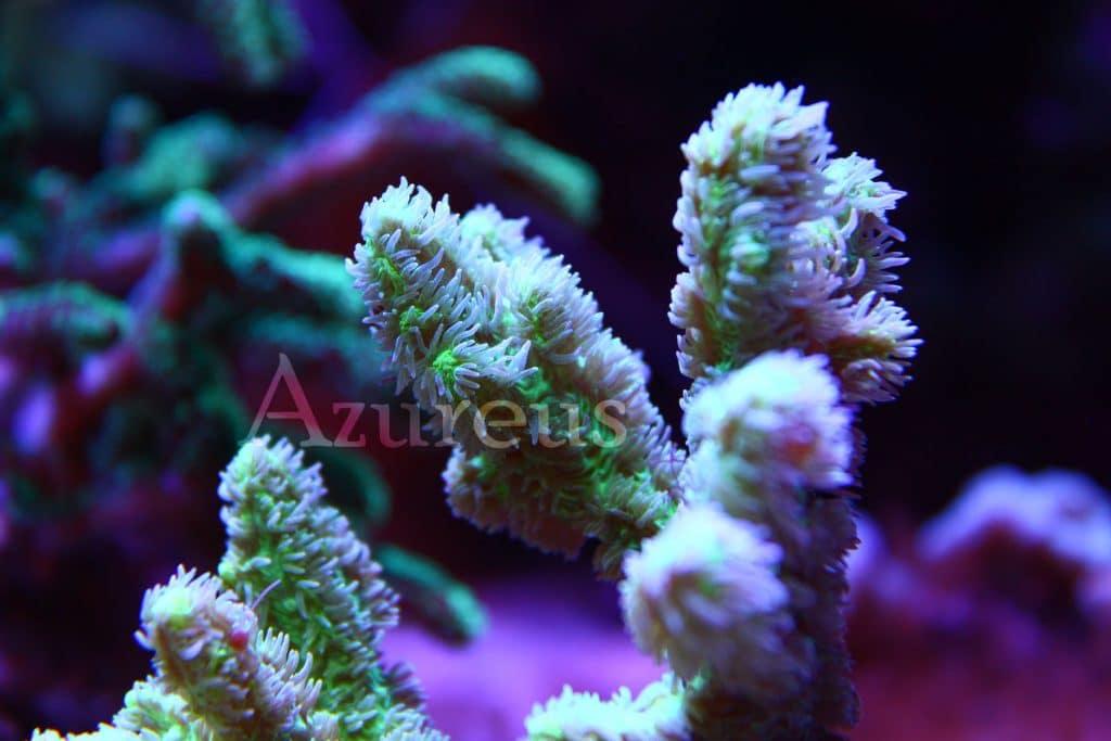 Estas Hydnophoras son resistentes, muy coloridas y, ante todo, bastante agresivas. No cometas el error de ponerla a menos de 5 cm de cualquier otro coral o lo quemará sin remedio. ¿Sabías que puedes apagar las bombas del acuario y darle de comer directamente artemia o granulado sobre sus pólipos? Los devorará con avidez!