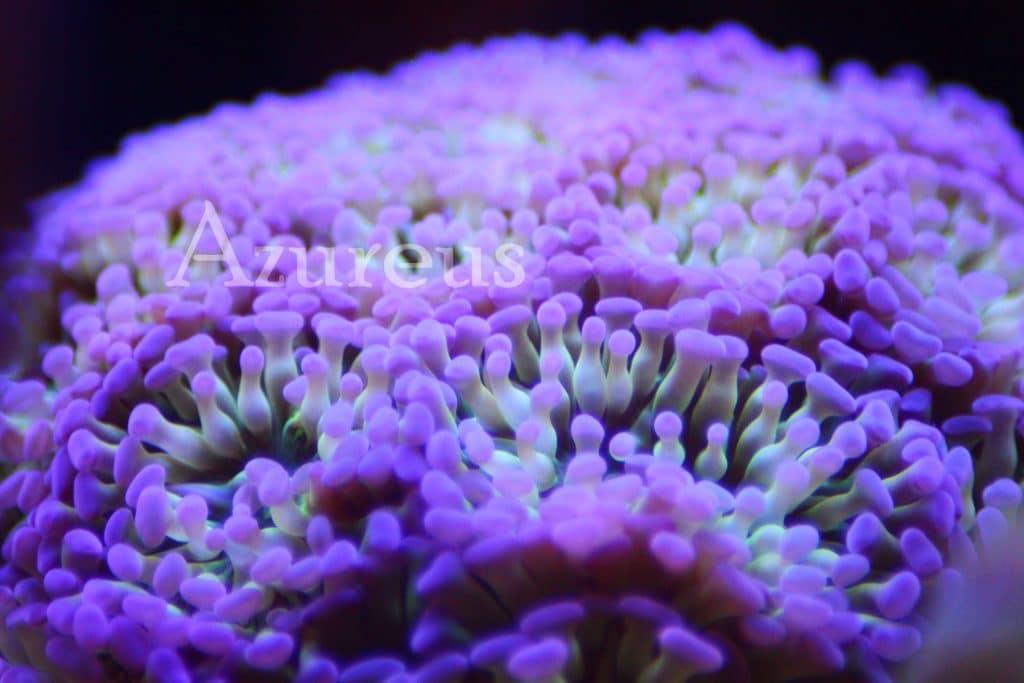 Euphyllia parancora, un mar de euphyllias en Azureus. Y es que de un esqueje que hicimos y metimos en nuestro acuario de exposición con 3 cabezas ya tenemos esta pieza (y creo que hay al menos 24 cabezas en esta Euphyllia ya, en tan solo 8 meses!!! )