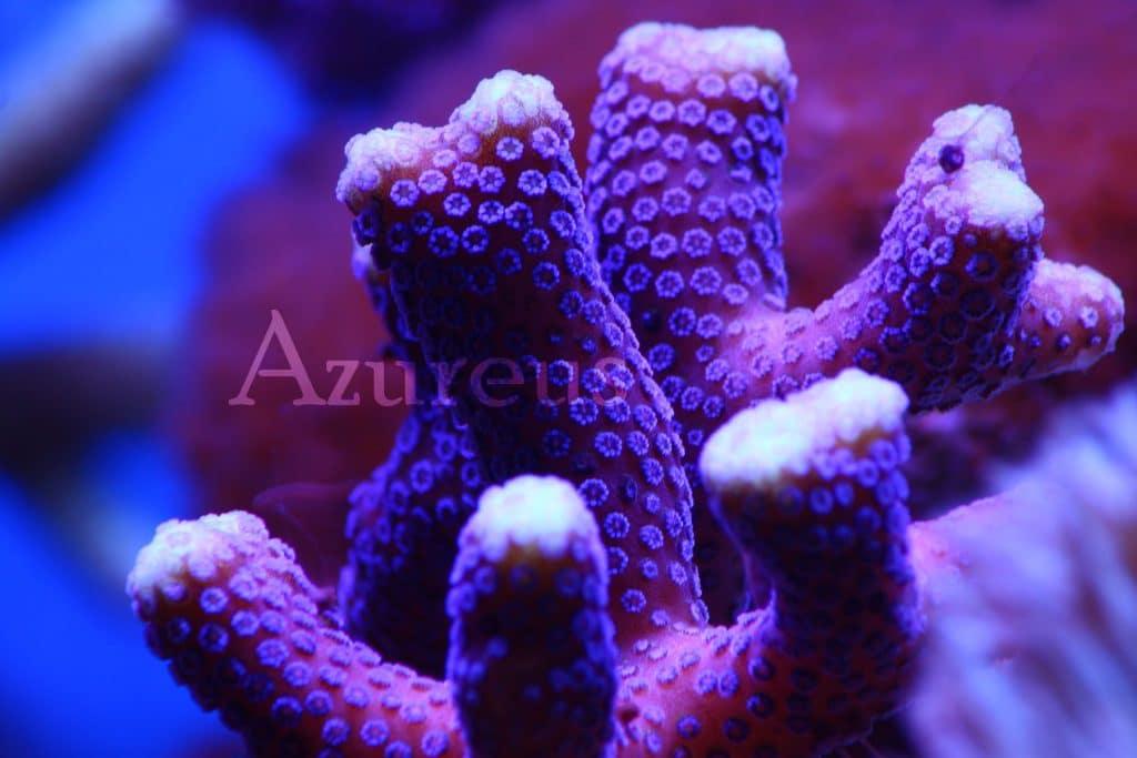 Estas Stylophoras milka están empezando a tirar a lo bruto en nuestro acuario de exposición. Y ya tenemos esquejes!! Tardan un tiempo en adaptarse al acuario, pero cuando lo hacen empiezan a darlo todo en sus puntas de crecimiento (las zonas blancas que véis en el coral ;) )
