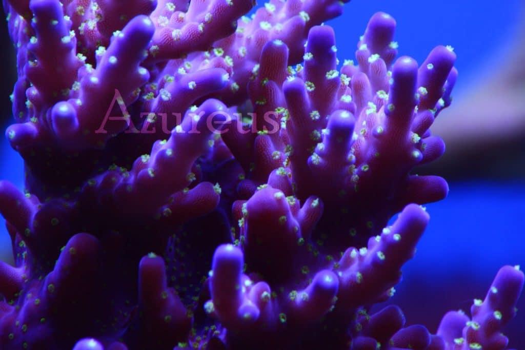 Acroporas malvas de pólipo verde ultra en Azureus. ¡¡De estas piezas, próximos esquejes para Mayo - Junio!!