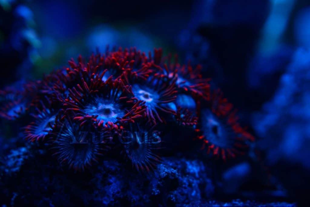 Estos zoanthus se salen. Por el día tienen solo una pizca de rojo, pero llega la noche y no podrás dejar de mirar sus tentáculos. Increíbles.