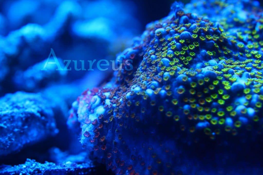 Montiporas incrustantes de diferentes colores de pólipo. El pólipo es de color rojo recién formado, luego pasa a naranja y por último los que tienen más tiempo se vuelven verdes muy intensos. Es muy bestia verla en vivo y en directo.