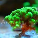 Stock de corales y esquejes en Azureus