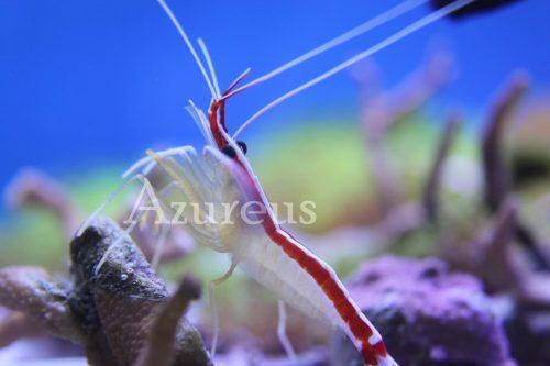Las Lysmatas amboinensis son animales espectaculares. Son de las más resistentes entre las Lysmatas y pueden llegar a vivir 5-6 años perfectamente. Son las más descaradas y en cuanto huelen algo de comer salen enseguida a pedir más :)