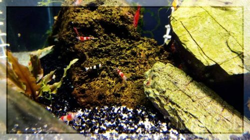 Red Cherry, Black Cherry, snow ball, sakura naranjas, red fire sakura y muchas más!! A qué estás esperando, ven a verlas, todas en Azureus ;)