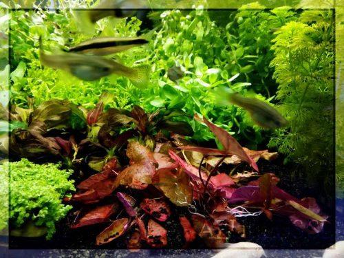 Las plantas den bulbo Tiger Lotus son un complemento ideal para cualquier acuario. ¡Tienen un rojo espectacular que es increíble si tienes CO2 en el acuario!