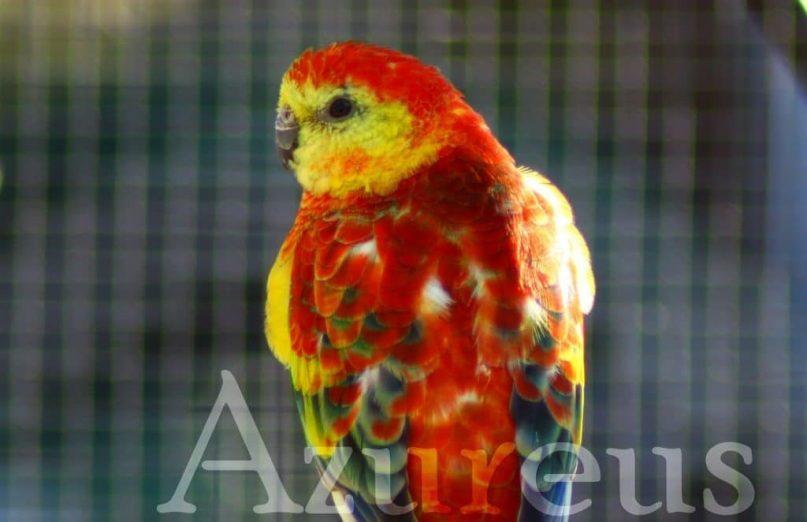 Los colores de un ave siempre deben ser vibrantes y el plumaje lustroso. Hay ciertos cambios en el plumaje que nos pueden avisar de alteraciones nutricionales, pero dichos cambios (plumas de varios colores por ejemplo o tonalidades rojizas) pueden ser perfectamente normales en algunas especies. En la fotografía, podéis ver a un macho de Rabadilla Roja panaché (mezcla de varios colores) totalmente normal.