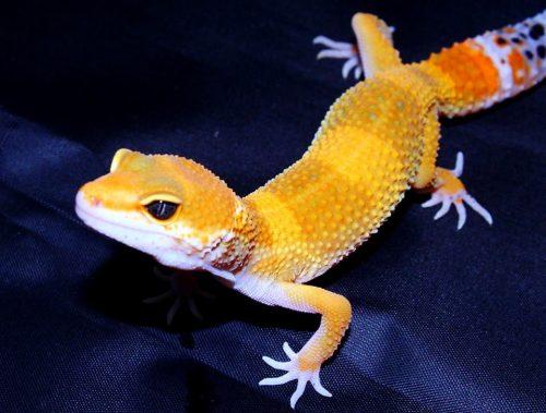 Ya tenemos geckos leopardos disponibles en Azureus. Los high yello carrot tail (super amarillos con cola de zanahoria) son una pasada!!, no te quedes sin verlos!)